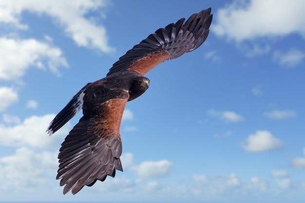 Harris hawk in flight in a cloudy sky
