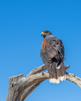 Harris hawk perched atop a dead tree