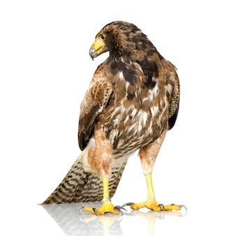 Harris's hawk on white