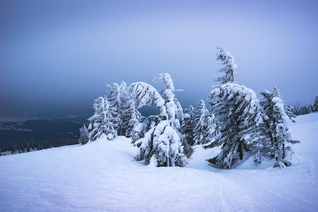 厳しい冬の風景と雪に覆われた傾斜したトウヒの木が風に揺れ、山々の素晴らしい景色を望む斜面に立っています。