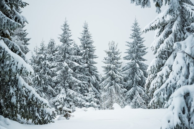 Harsh winter landscape beautiful snowy fir trees stand against a foggy mountainous area on a cold winter day. the concept of cold northern nature. copyspace