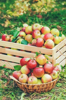 Harvest apples in a box on a tree in the garden