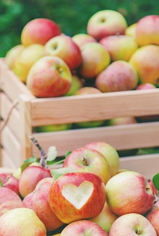 庭の木のボックスにリンゴを収穫します。セレクティブフォーカス。
