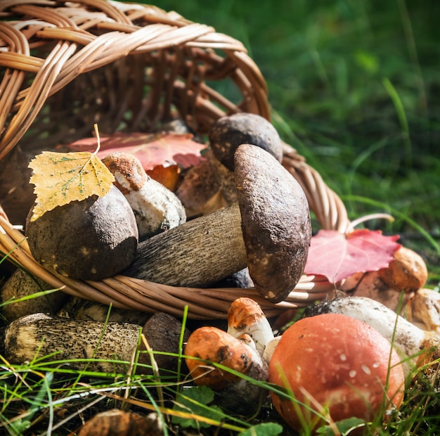 Harvest brown cap boletus in a basket