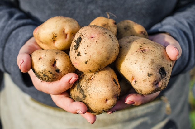 Harvest ecological potatoes in in farmer's hands.