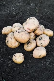 Harvest ecological potatoes freshly taken from the earth.
