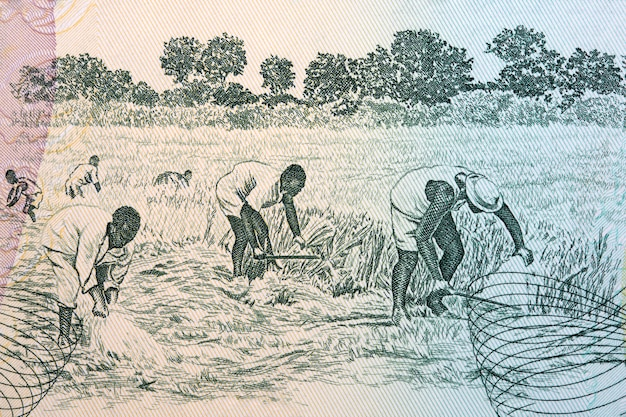 Harvest in the field from ghanaian money Premium Photo