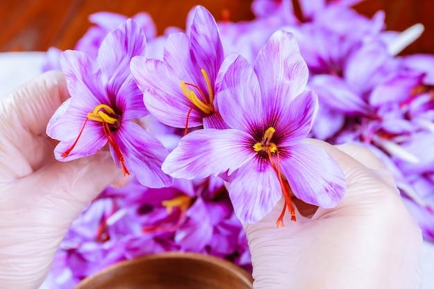 サフランの花を収穫します。テーブルの上の秋のクロッカスの花。