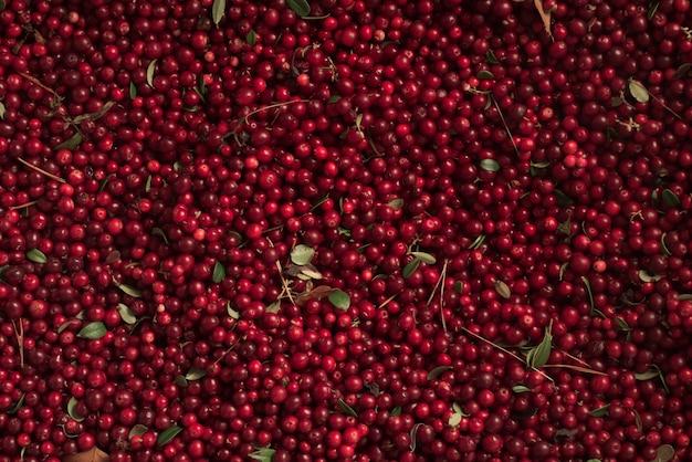 Harvest of fresh wild lingonberry Premium Photo