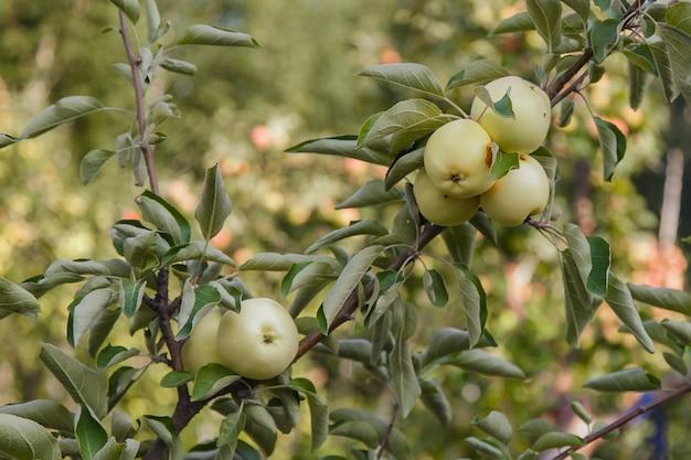 Урожай: зеленые яблоки на дереве в саду.