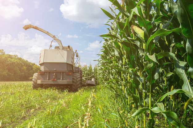 Harvest of juicy corn silage by a combine harvester and transportation by trucks