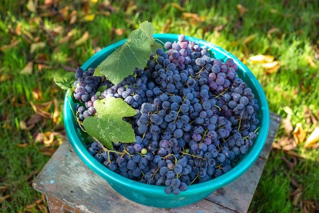 와인 생산을위한 잘 익은 검은 이사벨라 포도 수확