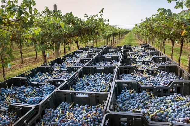 와인 생산 개념에서 신선한 과일과 포도나무의 후퇴하는 높은 각도 관점에서 시골 와이너리의 이탈리아 포도원에 있는 플라스틱 상자에 적재된 검은색 와인 포도 수확