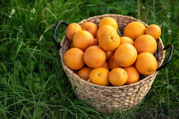Урожай свежих апельсинов в корзине на зеленой траве.