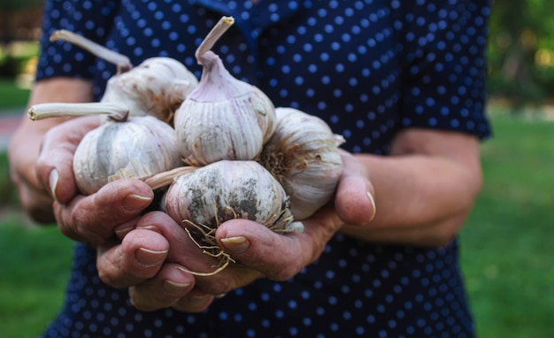 女性の手にニンニクを収穫する。選択的なfocus.nature。