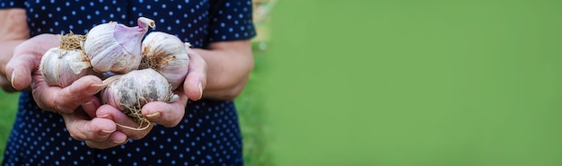 Урожай чеснока в руках женщины. селективный фокус. природа.