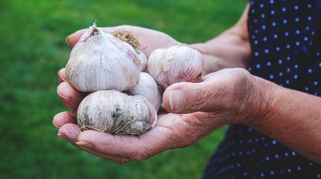 Урожай чеснока в руках женщины. выборочный фокус.