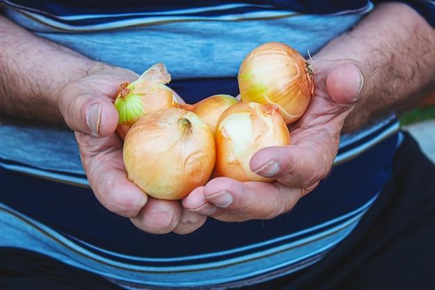 남자의 손에 양파의 수확. 선택적 초점.자연