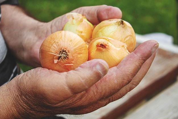Урожай лука в руках мужчины. селективный фокус. природа