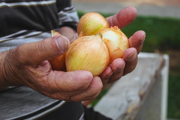 Урожай лука в руках мужчины. выборочный фокус.
