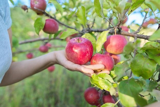 Сбор красных яблок на дереве в саду. осень, сельское хозяйство, сельское хозяйство, концепция здорового натурального питания