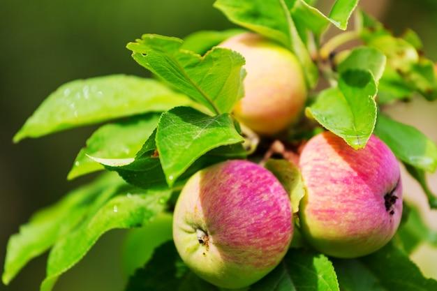 Урожай спелых красных яблок на ветке в саду.