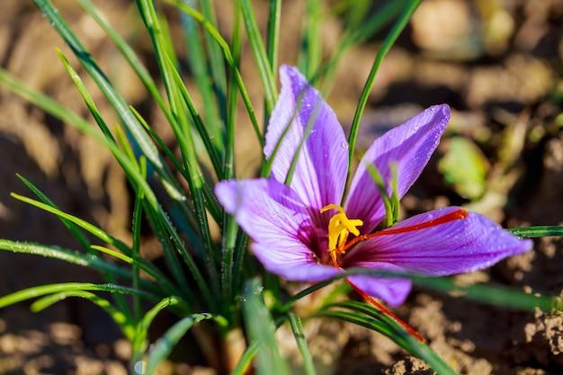 필드에서 사프란 꽃의 수확입니다. 가장 비싼 향신료.