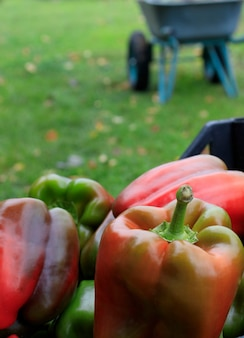 秋に農家が集めたピーマンパプリカの収穫。庭仕事と野菜の秋の収穫の概念。