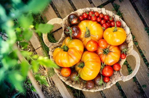 さまざまな種類のトマトをバスケットに収穫する