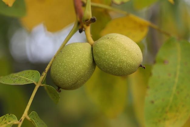 緑の木からクルミの収穫