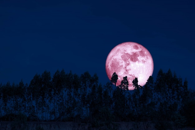 Harvest pink moon on night sky back over silhouette pines tree