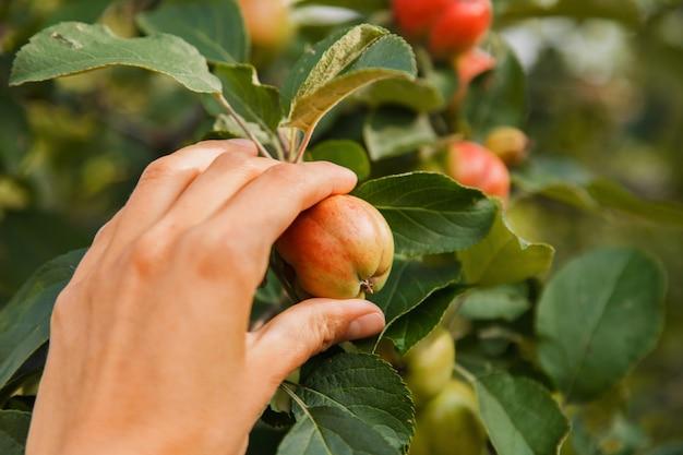 収穫:庭の木の赤いリンゴ。製品は輸出の準備ができています。季節商品の輸入。
