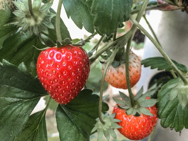 Harvest red strawberry from organic farm