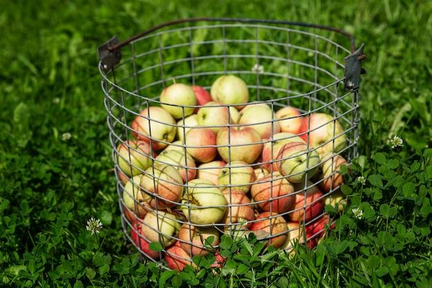 정원에 있는 바구니에 잘 익은 아름다운 사과를 수확하세요. 자연에서 온 비타민. 선택적 초점입니다.