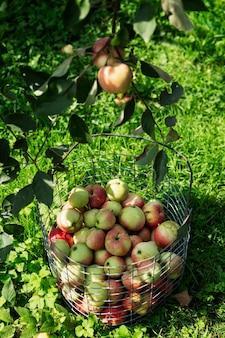 나무 아래 바구니에 잘 익은 아름다운 사과를 수확하세요. 자연에서 온 비타민. 수직의.