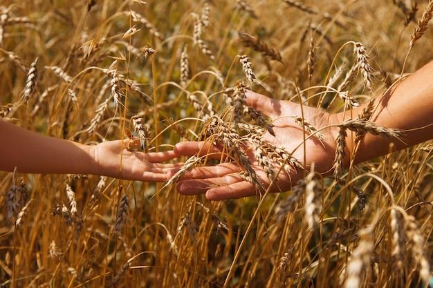 収穫:熟した小麦は畑で育ちます。黄金の穀物と手のクローズアップ