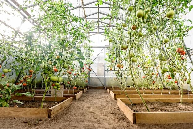 温室でトマトの収穫熟成。