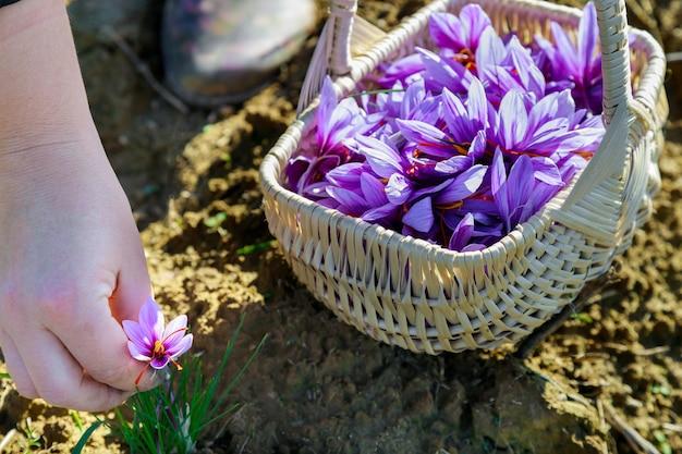 향신료를 위한 보라색 꽃 사프란의 수확 시즌.