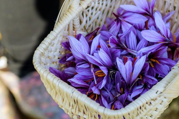 바구니에 보라색 꽃 사프란의 수확 시즌.