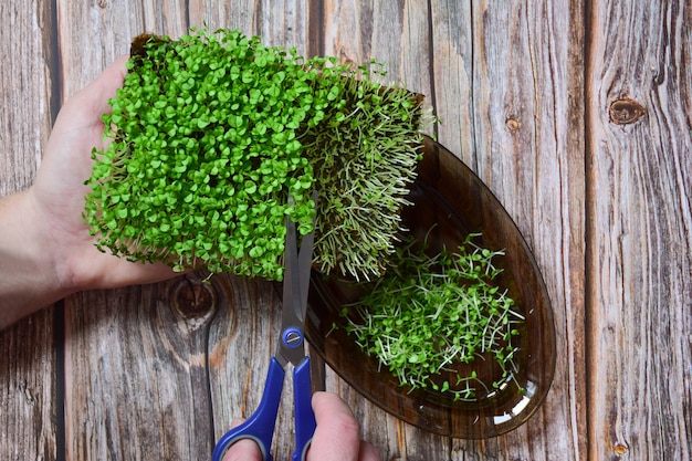 Harvest sprouted ornamental greenery microgreen basil cuts on a saucer with scissors on a background of wooden planks.