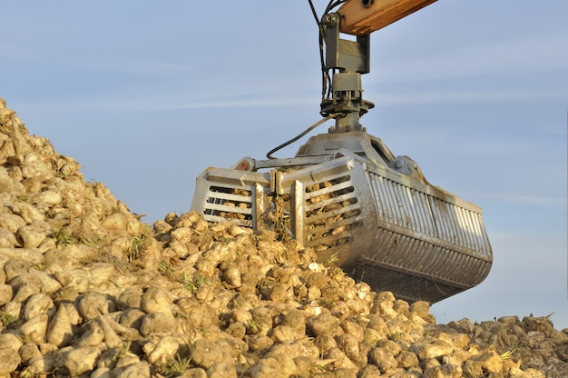 Harvest of sugar beets
