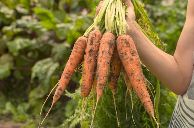 Harvest of sweet carrots in the hands of a farmer
