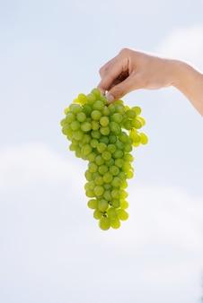 収穫時期、人間の手で新鮮なブドウの房。空を背景に熟したジューシーなブドウ
