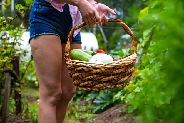 Harvest vegetable from organic vegetable garden
