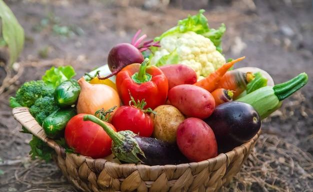 정원에서 채소를 수확하십시오. 선택적 초점. 자연.