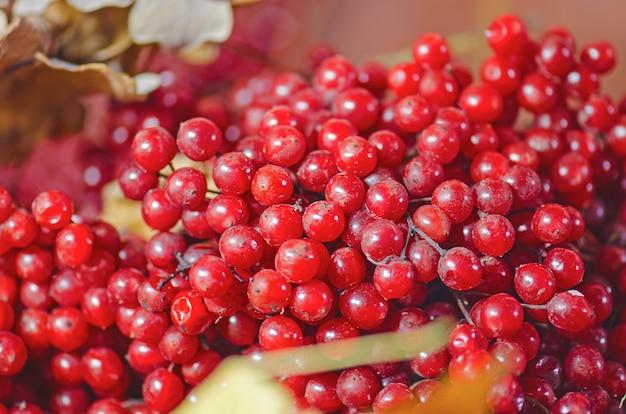 Harvest of viburnum berries