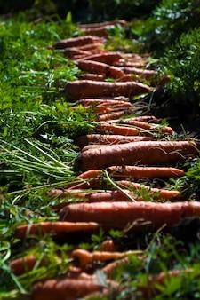 Harvested carrots on vegetable garden bed