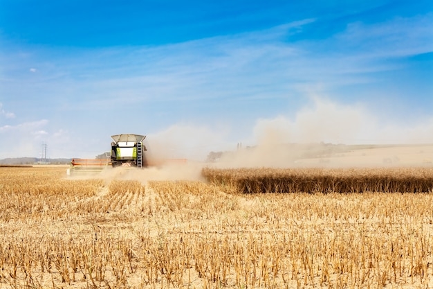 Harvested, a combine harvester mows and processes grain in a field, separating grain and straw.