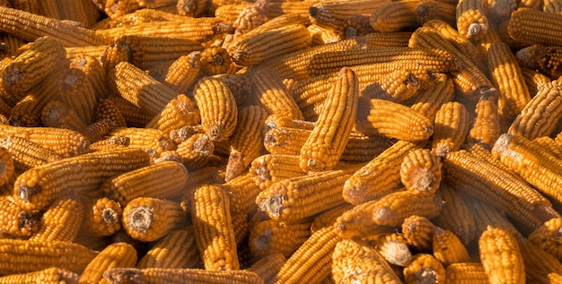 Harvested corn cobs at golden hour