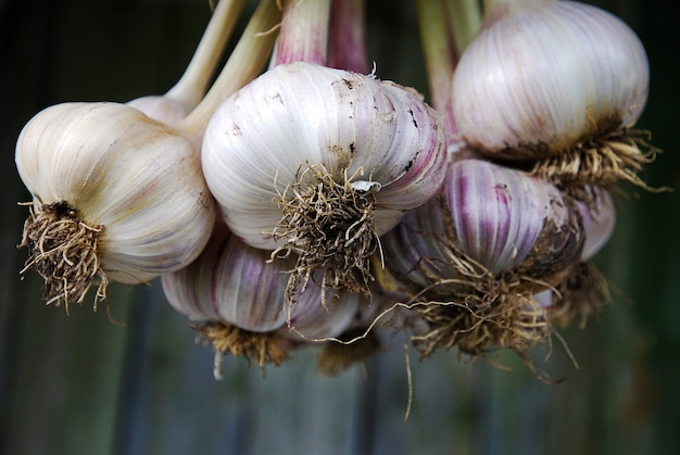 Harvested garlic hanging in a bunch, close-up